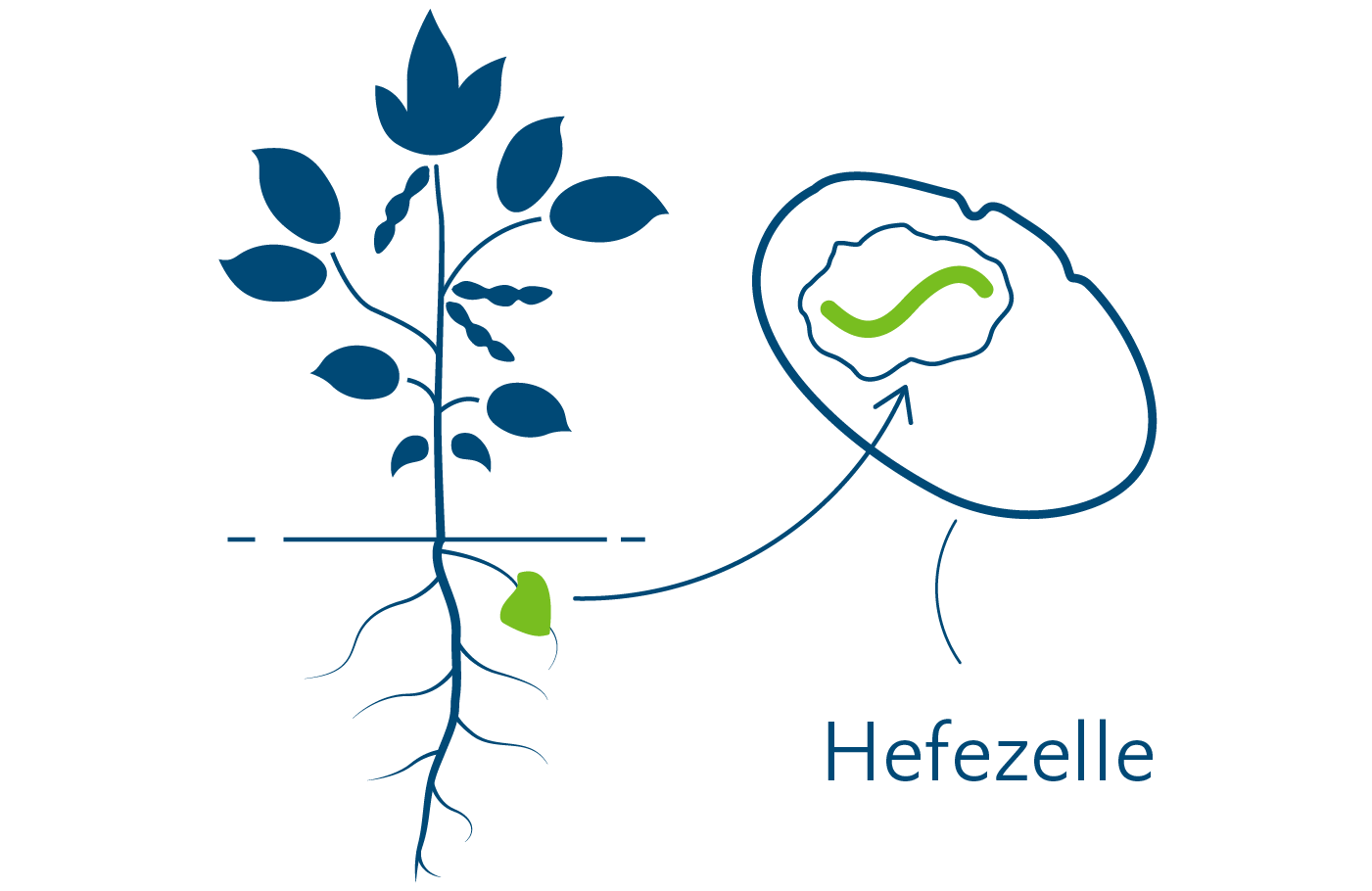 Herstellung von Häm durch Einpflanzen von DNA-Bausteinen in Hefezelle