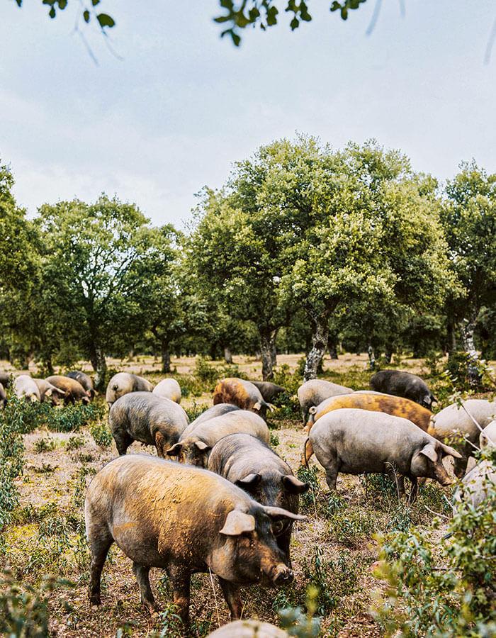 Iberische Schweine in Freilandhaltung