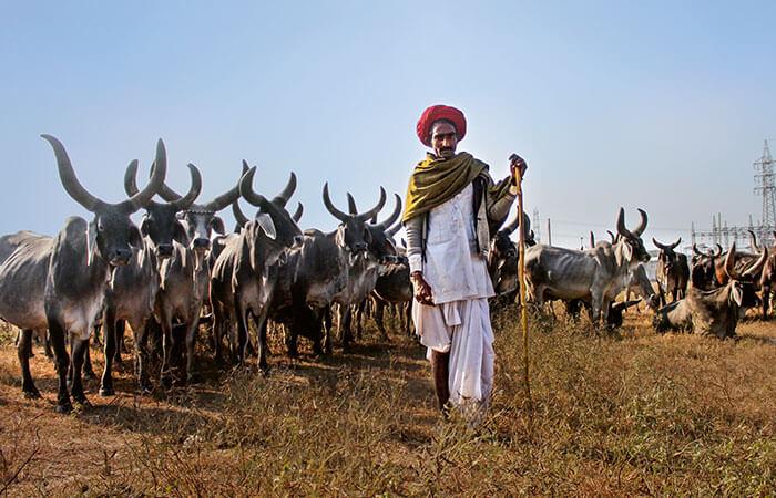 Indischer Rinderzüchter mit Rindern
