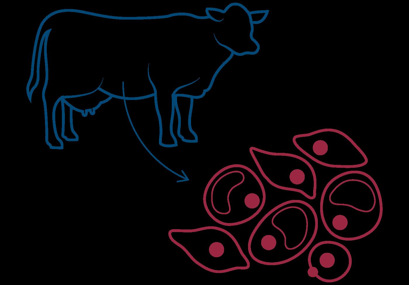 Zellen aus Muskelgewebe von Rindern